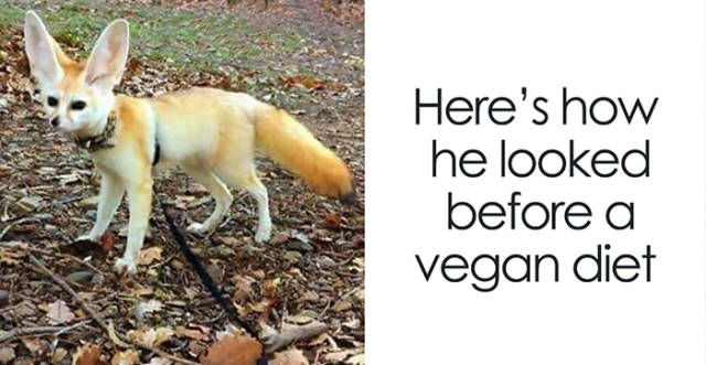 When Fennec Fox Is Forced Into A Vegan Diet…