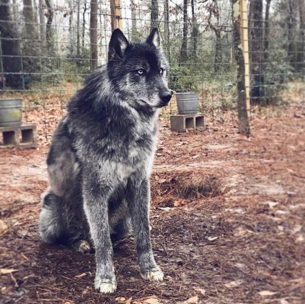 Wolf-Dog Hybrids For Those Who Think That Usual Dogs Are Just Not Enough