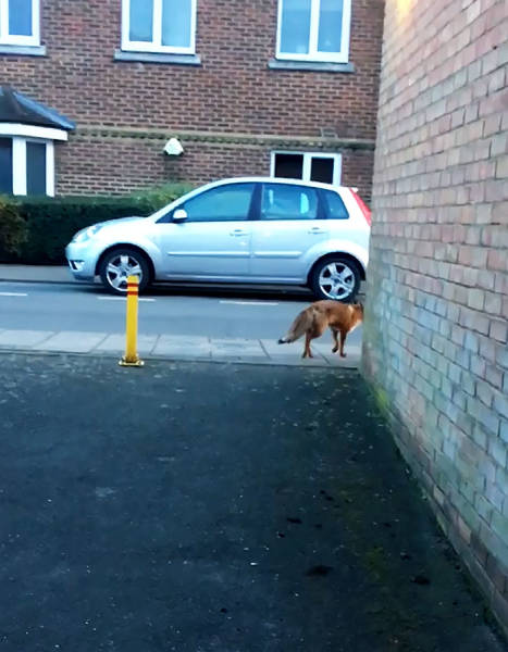Don't Get Too Relaxed When Near A Fox!