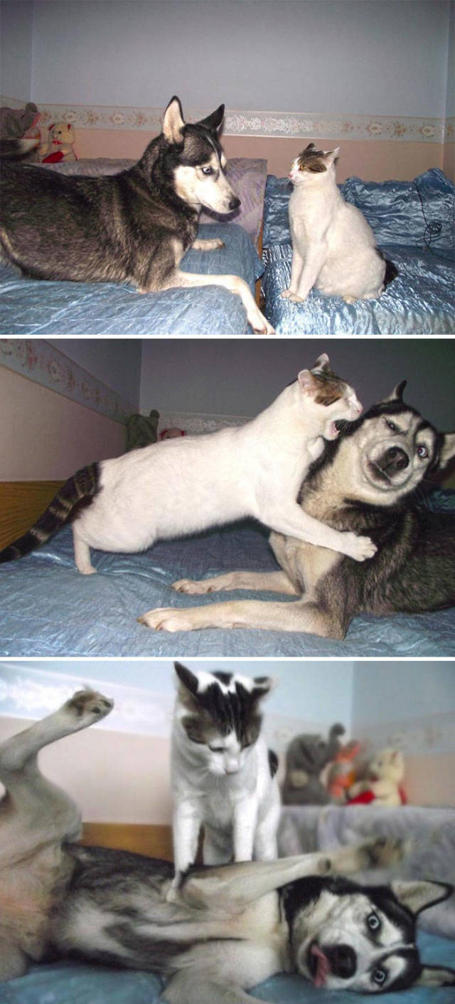 What Could Be Funnier Than A Husky? More Huskies, Of Course!