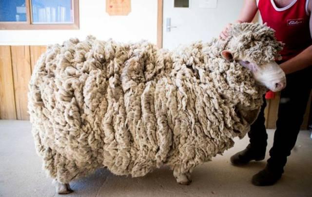 Four Years Of Growing Fur, Finally Sheared