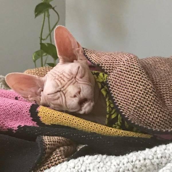 Meet Loki: The World's Grumpiest Sphynx Cat