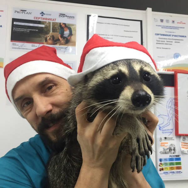 The Best Veterinarian Is A…Raccoon!