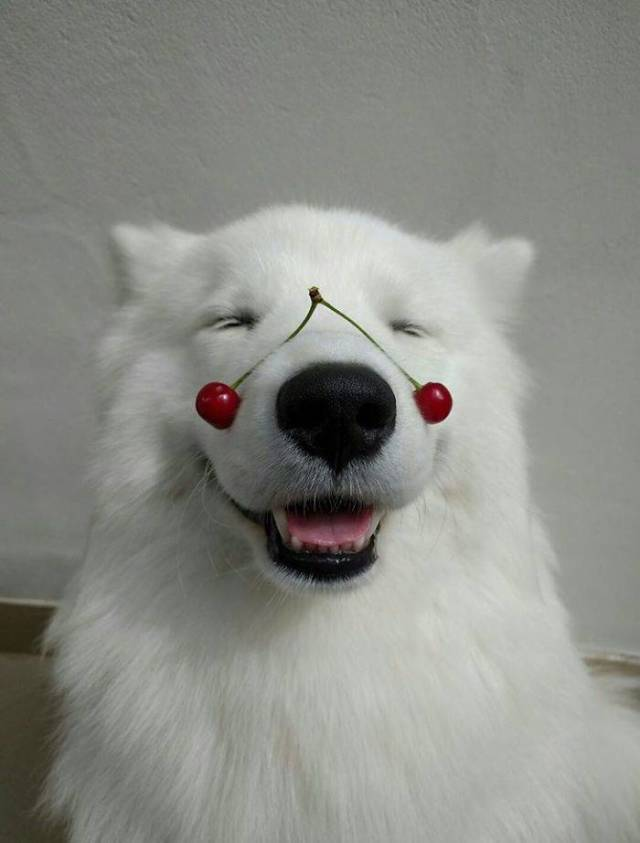 "Samoyeds Are Serious Contenders For ""The Cutest Dog Breed"" Contest"