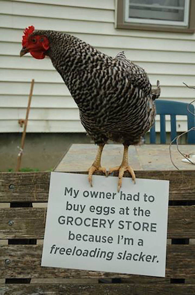 Pet Shaming. Now In Chicken Edition