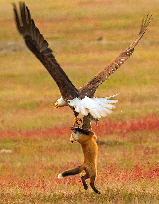 Photographer Shoots Epic Battle Between Fox And Eagle Over Rabbit