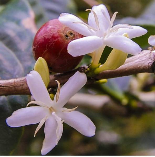 Wanna See How Coffee Blossoms?