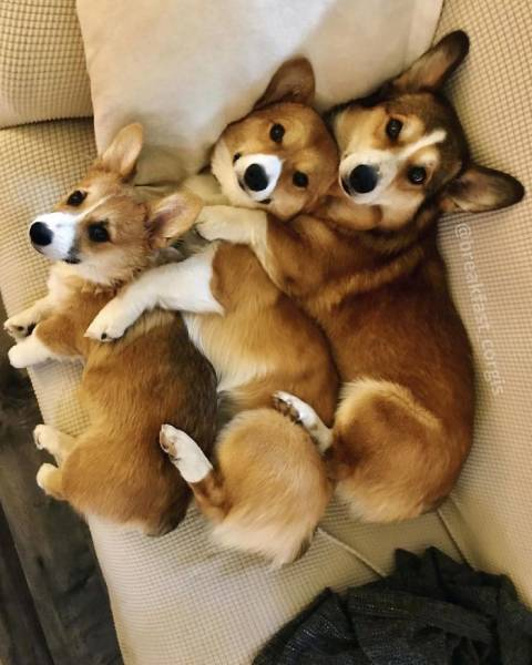 Corgis Are The Epitome Of Cuteness