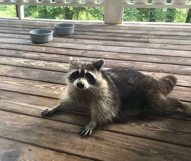 Feeding A Pregnant Raccoon Is A Risky Thing