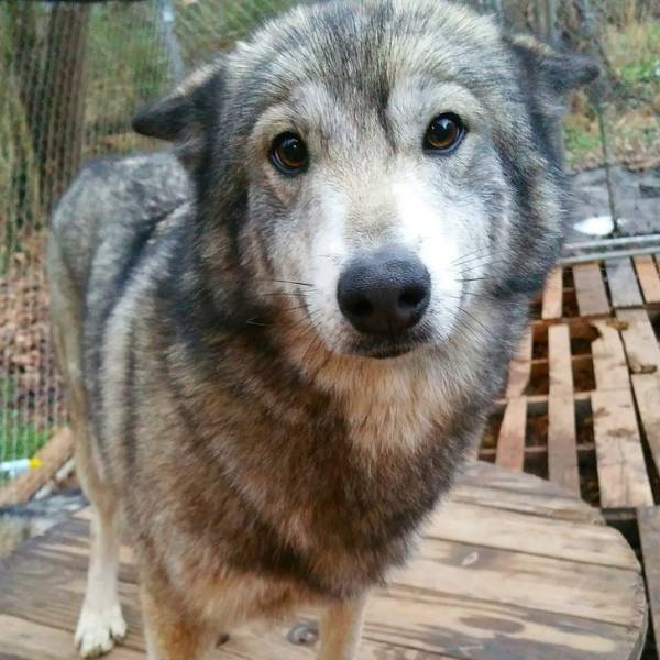 Wolfdogs Are Tens Of Kilos Of Adorable Deadliness
