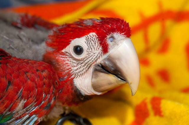 How A Beautiful Ara Parrot Looks After It's Born