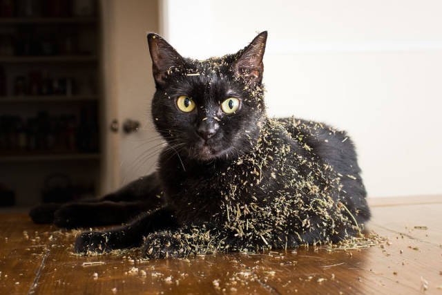 Cats Are Terrible Catnip Junkies
