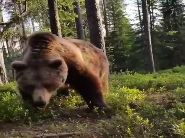 Congratulations, There's A Bear Outside Your Tent