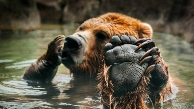 Human Hand Is A Bit Smaller Than A Bear's Paw