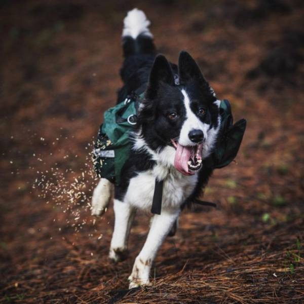 Dogs Restore Forests After Those Have Been Burned