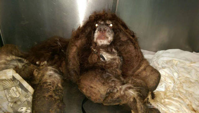 How A Cocker Spaniel Was Saved From His Own Fur