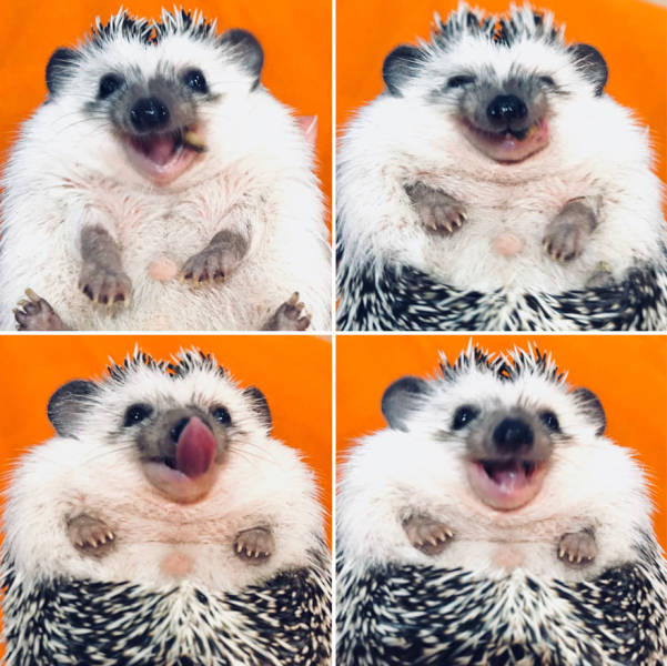 This Happy Hedgehog Is A Literal Cuteness Overload