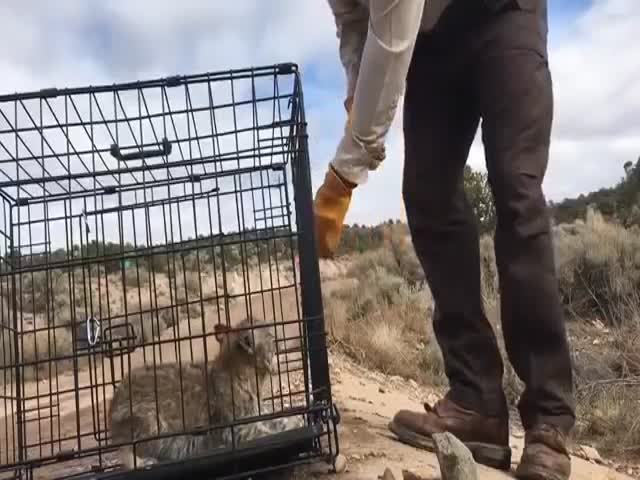 The Most Savage Bobcat Kitten In The World Is Now Free