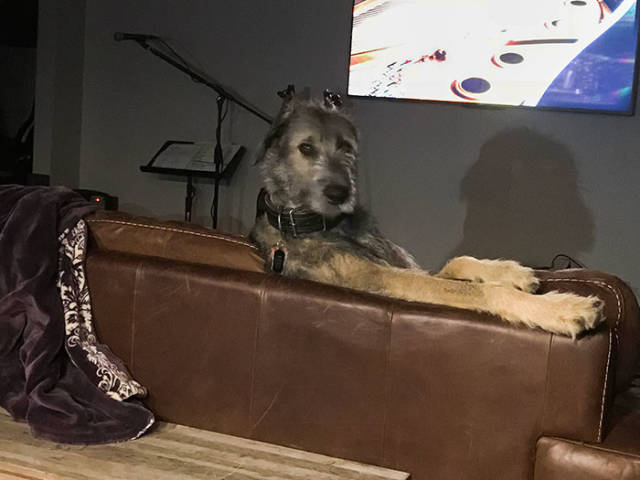 Irish Wolfhounds Are Both Funny And Incredibly Large 45
