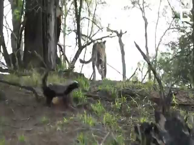 Honey Badgers Really Do Fear No One