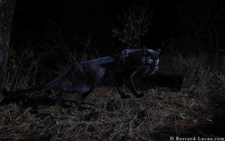Wild Black Leopard Gets Photographed For The First Time Since 1909