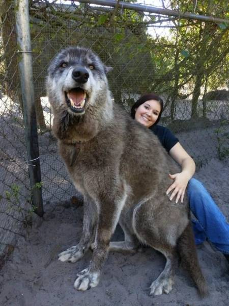 This Wolfdog Was Meant To Die At The Kill Shelter, But Got Saved