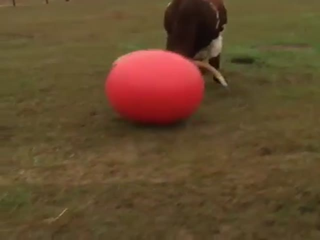 Sad Story About Tex The Giant Longhorn And His Poor Rubber Ball