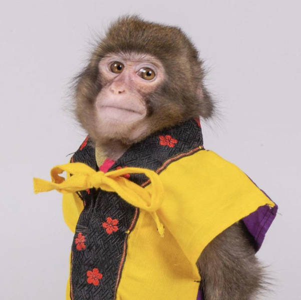 Are We 100% Sure This Monkey Is Not A Journalist?