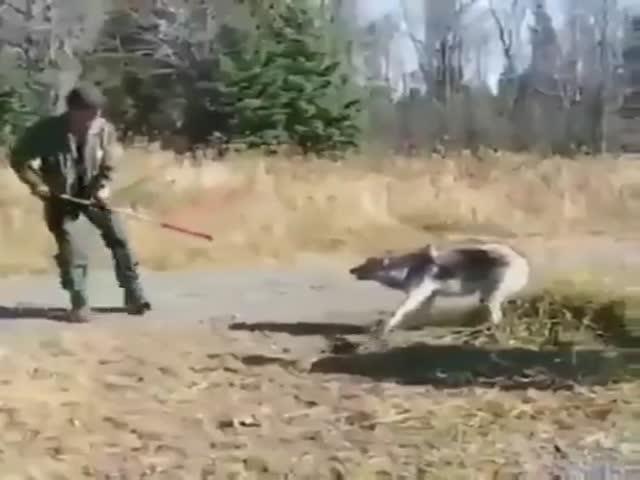 Saving Private Wolf