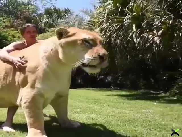 This Lion-Tiger Hybrid Looks Like A Real Monster