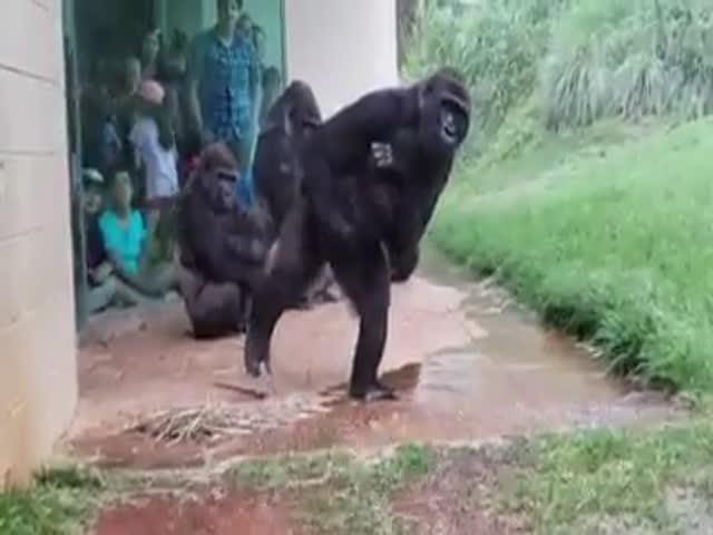 Gorillas Don't Like Rain Very Much