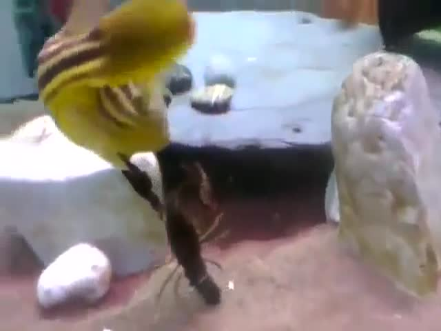 Never Mess With A Puffer Fish