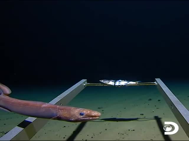 What Life Looks Like At The Bottom Of Mariana Trench