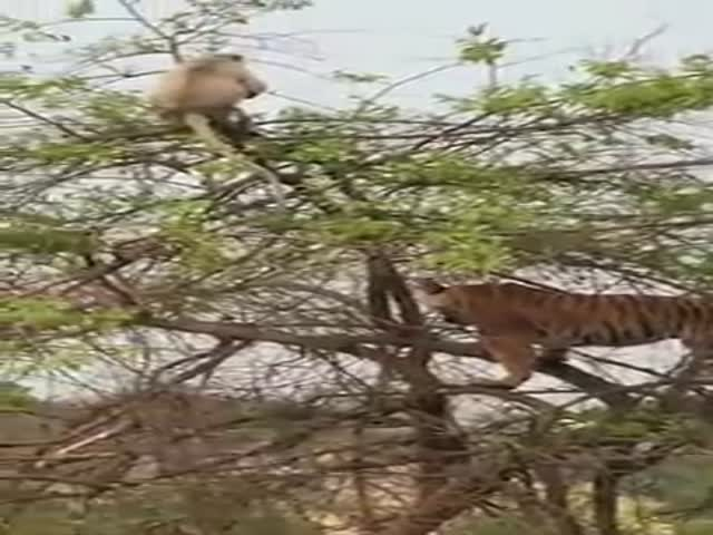Who Climbs Trees Better – Tigers Or Monkeys?