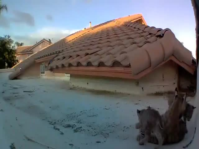 A Family Of Lynxes On Someone's Roof