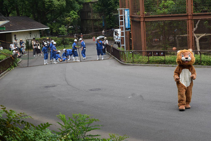 How Japanese Zoo Performs Lion Escape Drill