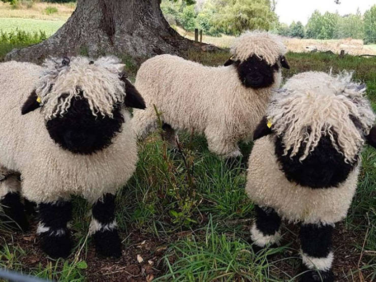 Valais Blacknose Sheep Always Look Like They're Posing For a Heavy Metal Album Cover