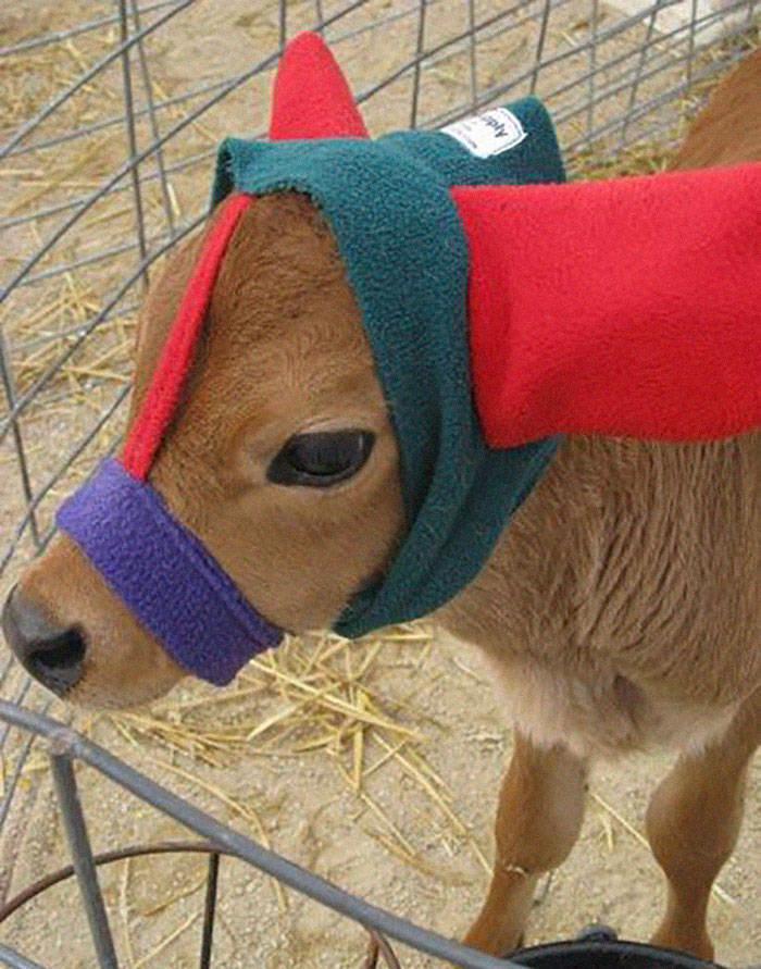 Cows In Earmuffs Is Cuteness Overload