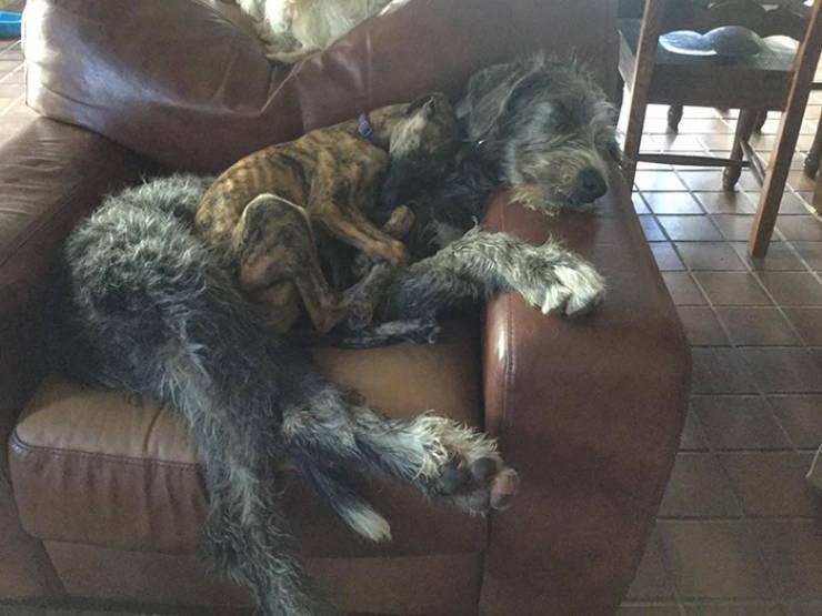 Yeah, Irish Wolfhounds Are Pretty LARGE