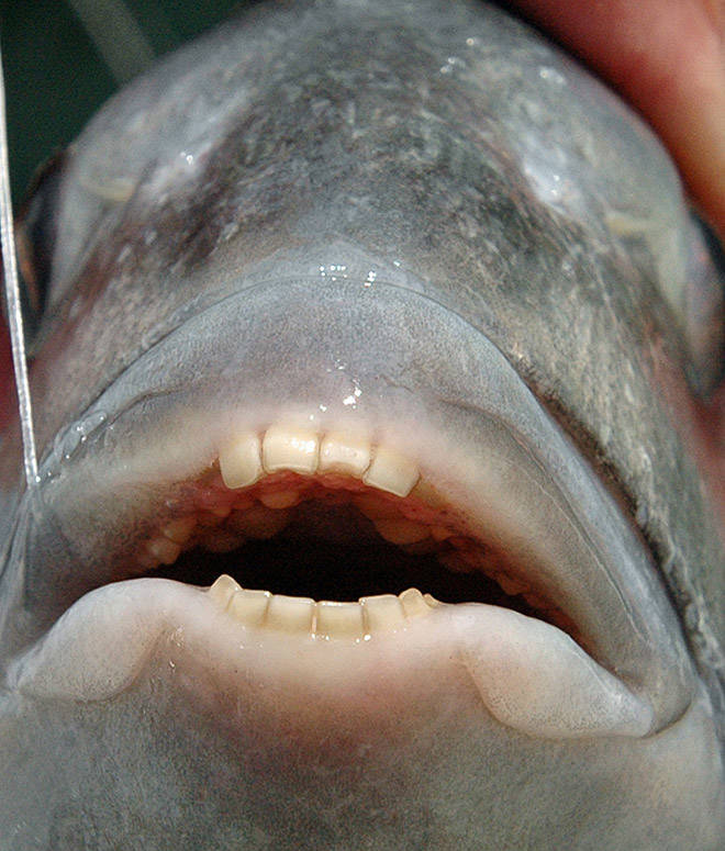These Sheepshead Fish With Human Teeth Are The Stuff Of Nightmares