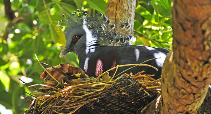 """The """"Victoria Crowned Pigeon"""" Is Such A Beautiful Bird!"""