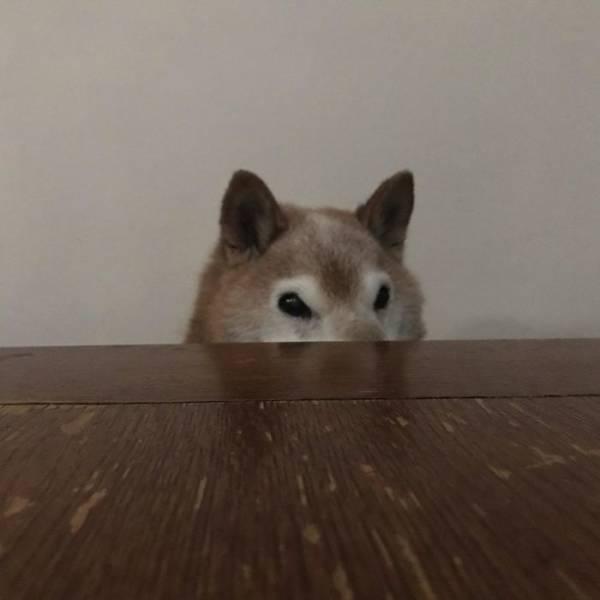 This Shiba Inu Is Not Amused. Grumpy Cat, Beware