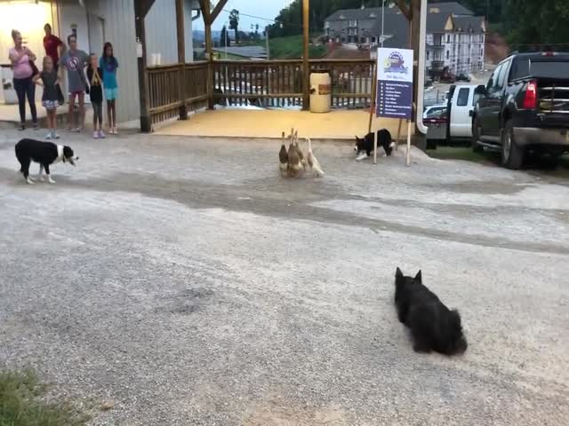 Herding Dogs At Their Best
