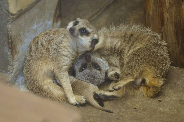 Meerkats Are So Adorable, Especially When There's A Whole Family Of Them!