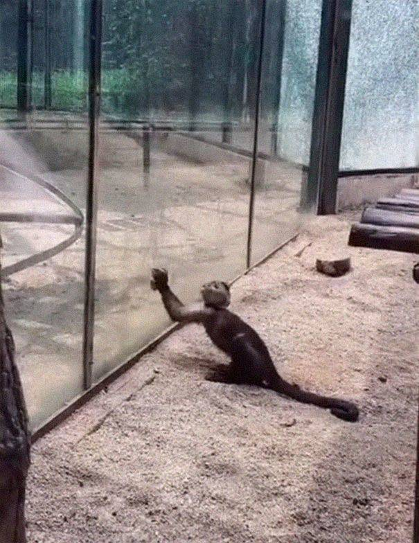 Just A Monkey Sharpening A Rock In A Zoo…
