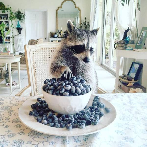 Raccoons Are The Most Genuine Animal Beings…