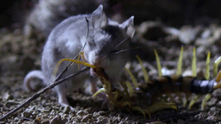 Mice Are Cute And Peaceful, Huh? Take A Look At This Bad Boy!