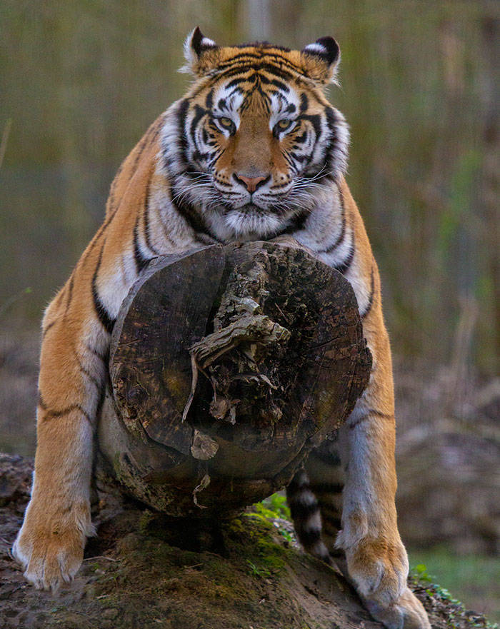 It Looks Like Tigers Have A Spare Set Of Eyes!