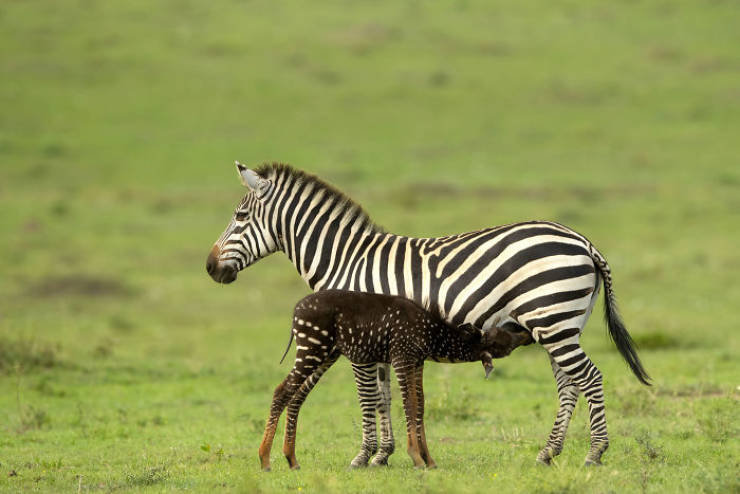 Something's Wrong With This Baby Zebra… But In A Good Way