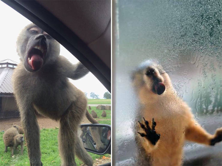Animals Absolutely Love Licking Windows